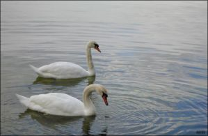 Swans by dolchia