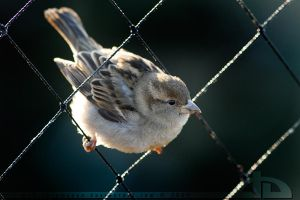 Backlit Sparrow by thrumyeye