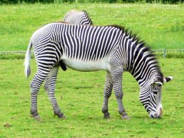 stripes by tomwright666