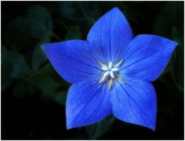 BLUE STAR by THOM-B-FOTO