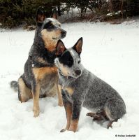 Cattle Dogs... by ThunderhillPaints
