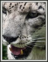 Snow Leopard: Smirk or Snarl by papatheo