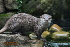 110810 Short-clawed Otter 1 by InsaneGelfling