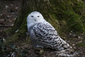 Snowy Owl by SkeletonHorror