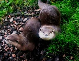 -otters by d-igitalsuicide