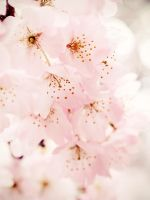 Cherry Blossom iPad Wallpaper by hoatongoc