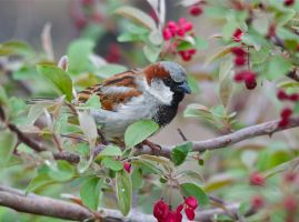 House sparrow among blooms by MagicCometART