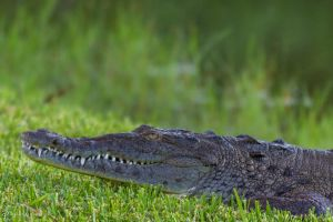 American crocodile by CyclicalCore