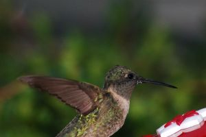 Black Throated Humming Bird by JulieaCafe