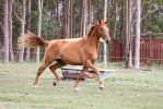 Dn WB chestnut trot side view by Chunga-Stock