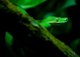 Green Tree Python by Linkineos