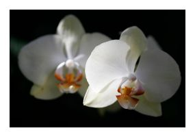 FMG Orchid 4 by badman22