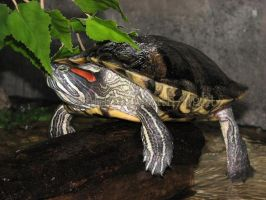Trachemys scripta by painting-with-light