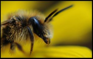Bee portrait by Nataly1st