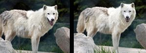 Animals - Arctic Wolf 3 by MoonsongStock
