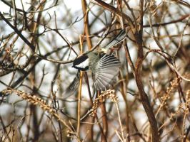 Black Capped Chicadee by ronzo521