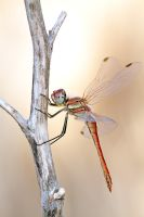 Red darter by buleria