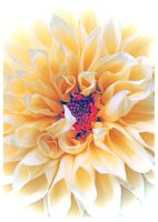 Living These Dahlia Dreams by TeaPhotography