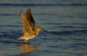 Dowitcher Power by TerribleTer