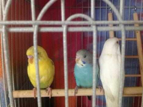 My Parakeets by kittyprincess394