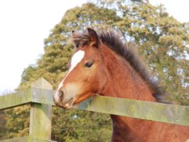 Welsh Pony by DiveEleanorDive
