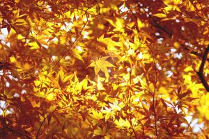 Golden Maple by theblindalley