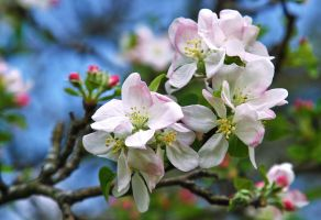 APPLE BLOSSOMS by Artographs