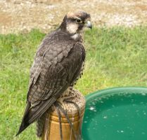 Lanner Falcon Perched by Gareque