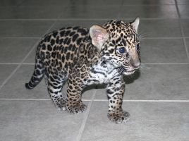 Baby Jaguar by Karma021