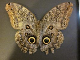 Owl Butterfly Spread Ventral View by death-pengwin