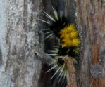 Spotted Tussock Moth Caterpillar by hotwiar