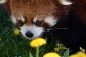 Red Panda by marmots