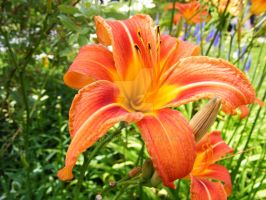 Lilly d'un jour orange by mickeyrony