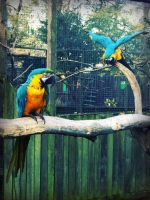 Macaws by CKPhotos