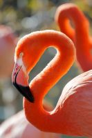 American Flamingo I by DeniseSoden