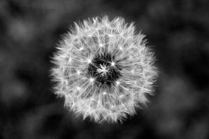 dandelion by FigoTheCat