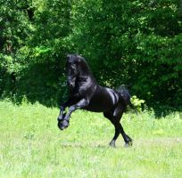 Black Stallion Stock by LarissaAllen