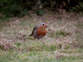 wee robin by harrietbaxter
