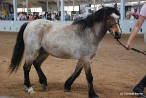 Roan Pony Stock 1 by lee-mare