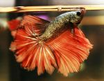 Red Cooper Feather Tail Betta male by HappyBettas