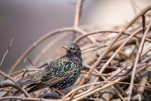 Common Starling I by Dragos06