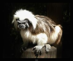 Tamarin by 3Dswed