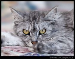Silver Maine Coon - Olivia by substar