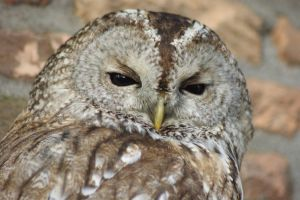 Tawny Owl by AllAboutBirds