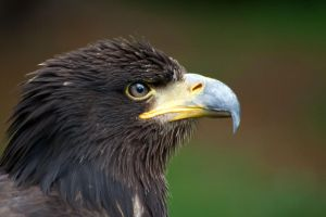 Golden Eagle in Profile by LughoftheLongArm