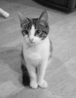 Black and White Calico Cat by joyful-melody