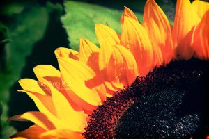 Orange Sunflower by elieang