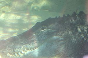 American Alligator Ron underwater by Daikaiju-fanboy