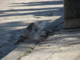 Pigeon Love by AestheticallyCraved