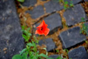 lonely poppy by saguara